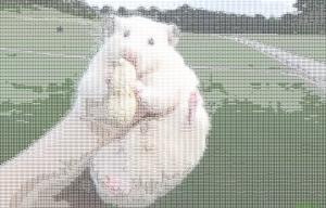 giant hamster