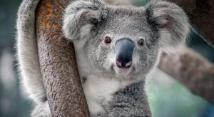 Koala inverted