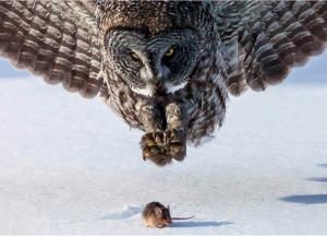 Owl grabbing prey