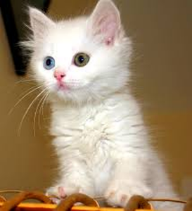 Kitten with green and blue eye