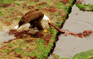 Eagle eating squid