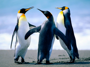 Three pinguins