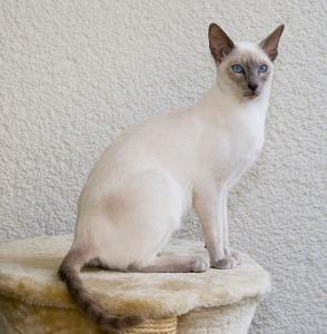 Siameze cat